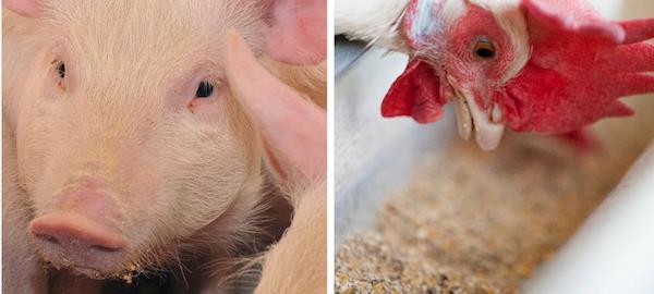 Conheça os principais processos de produção de ração animal