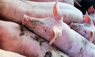 Indústria chinesa inicia três complexos produtivos de suínos sustentáveis na Argentina