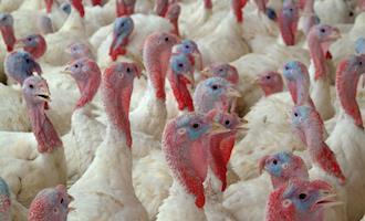 Marrocos abre mercado para genética de perus do Brasil