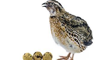 Adequação de fornecimento de ração para maior qualidade da casca de ovos de codornas japonesas