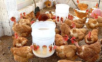 Fazenda usa WhatsApp para vender ovos de galinha caipira