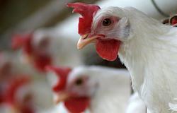 Coopeavi investe R$ 2,5 milhões em expansão de atividades avícolas