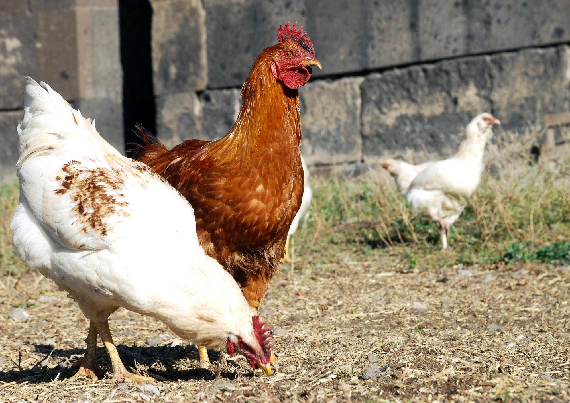 Carcaças de frangos de corte tipo caipira alimentados com rações contendo farelo integral