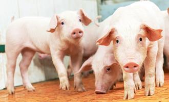 O movimento da carne suína em outubro, segundo o Cepea