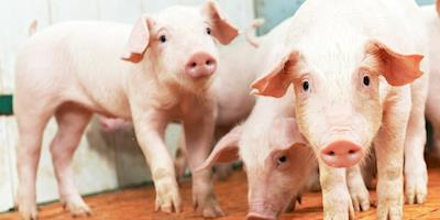 Detecção de peste suína em granjas não afeta mercado de suínos na Alemanha