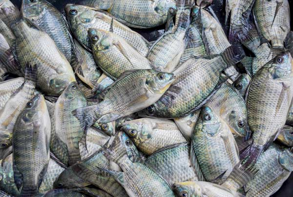 Data on the tilapia market are presented in Embrapa