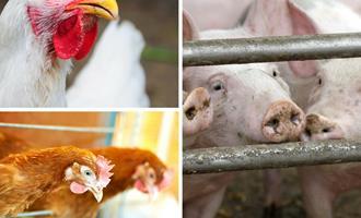 Custos de produção de suínos e de frangos de corte sobem mais de 6% em agosto