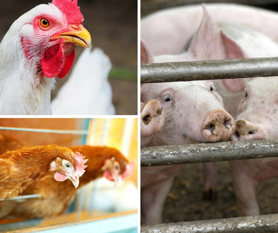 Produção de aves e de suínos será menor em 2018, diz associação
