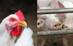Diferença de preço do suíno vivo e do frango é a menor em 11 anos