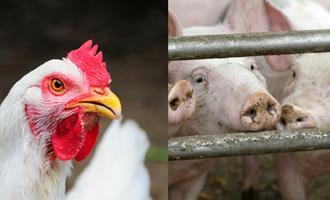 Custos de produção de suínos e de frangos de corte já subiram mais de 25% em 2020