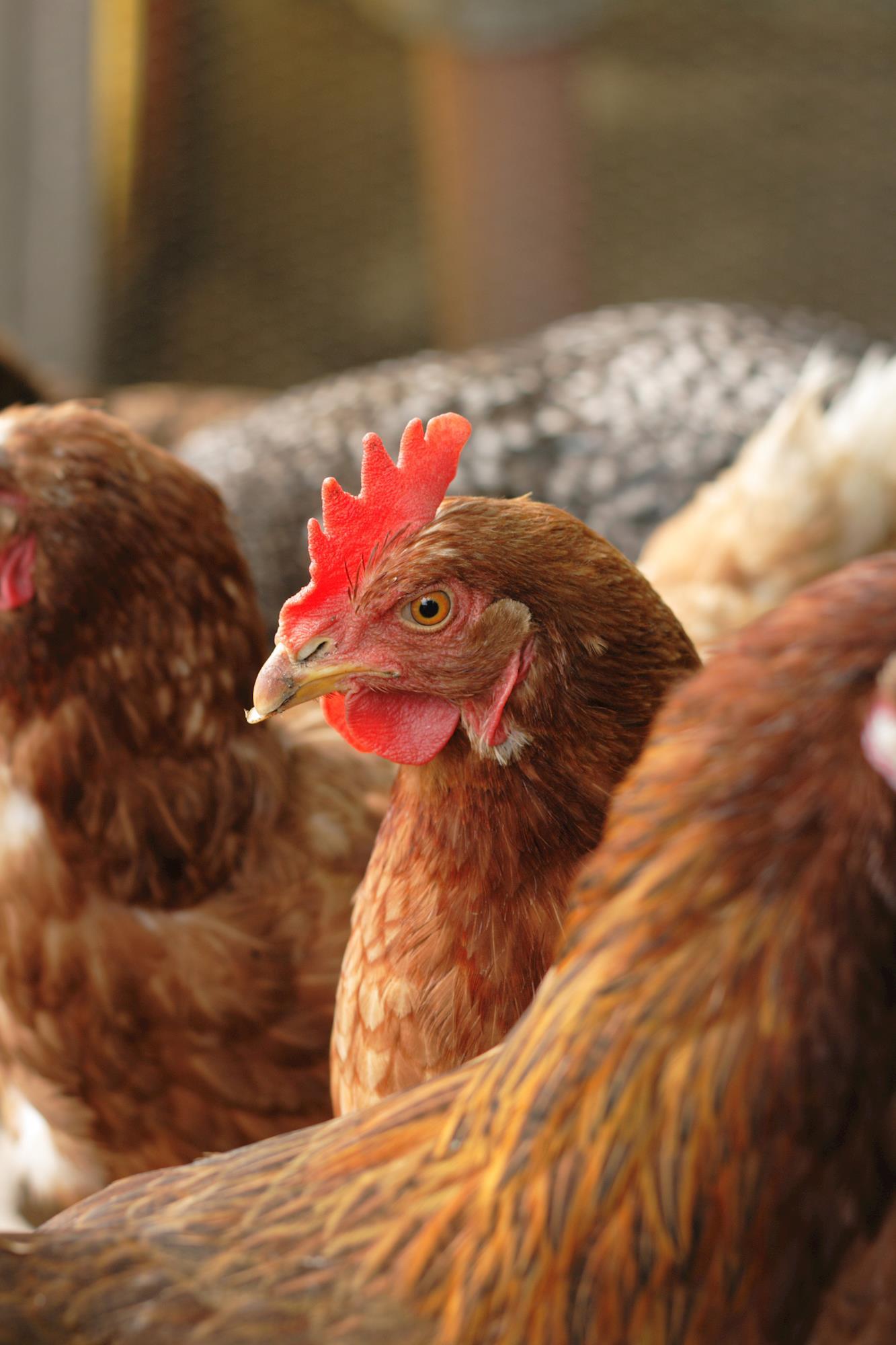 Laringotraqueíte Infecciosa das Aves: epidemiologia e profilaxia