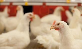 Governo da França reforça medidas para conter o avanço da gripe aviária (vírus H5N5)