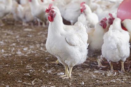 Copacol repassa complementação de preços aos avicultores