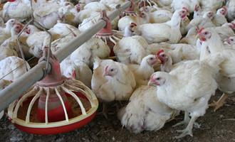 Preços do frango vivo e da carne sobrem pelo terceiro mês seguido