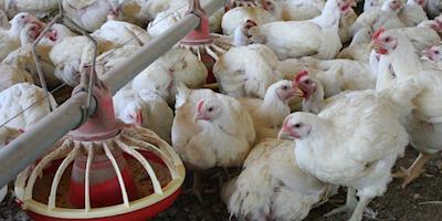 Preços do frango caem e dos insumos sobem, aponta Cepea