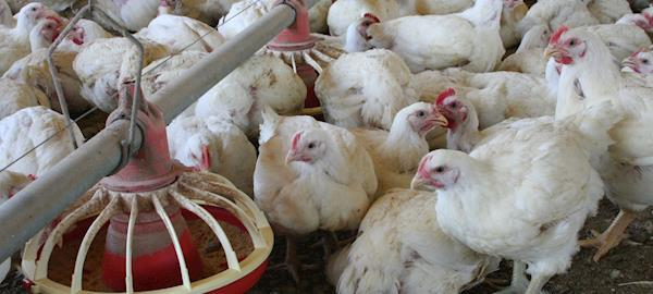 Produção de frangos na Bahia aumenta cerca de 50%, mas perde posição no ranking nacional