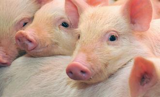 JBS e BRF correm atrás de novo padrão de bem-estar animal para os suínos