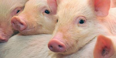 Malásia abaterá 3 mil suínos após descoberta da peste suína africana
