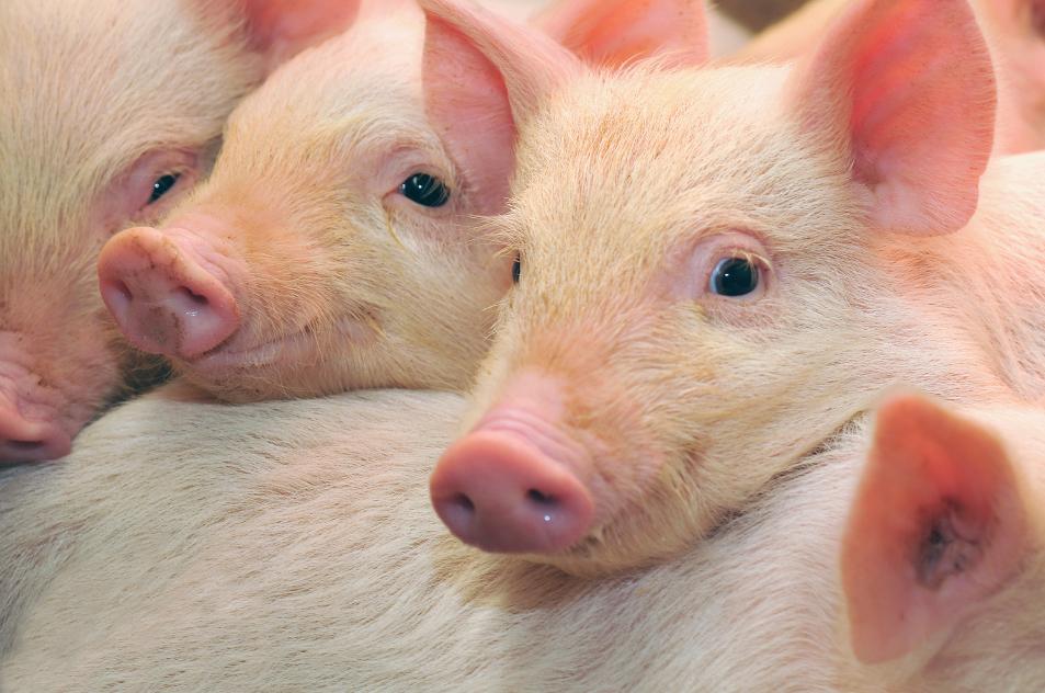 A epidemia chinesa de peste suína e o Brasil - por Marcos S. Jank