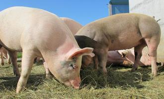 Movimento de alta no preço do suíno é interrompido, aponta Cepea