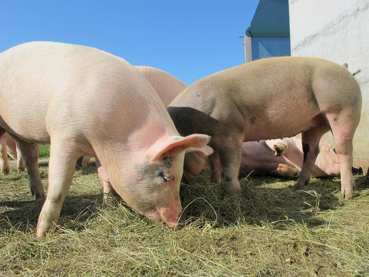 Preços da carne suína se recuperam nos estados
