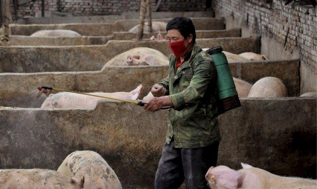 China confirma segundo caso de peste suína africana