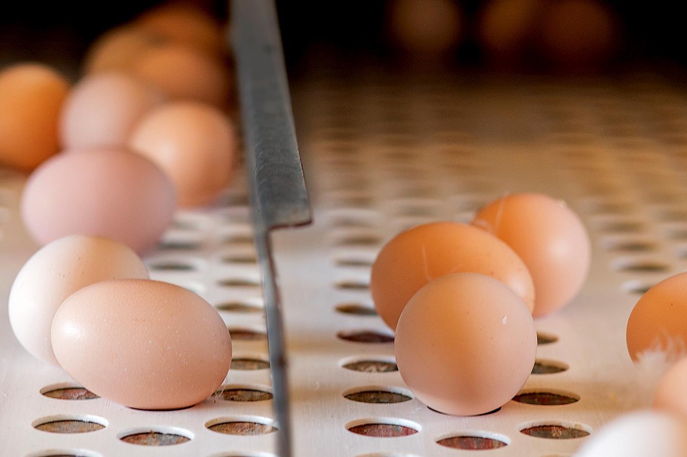Preço dos ovos brancos sobem enquanto vermelhos registram desvalorização