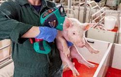 MSD lança o primeiro dispositivo livre de agulha e intradérmico com dois injetores para vacinação suína