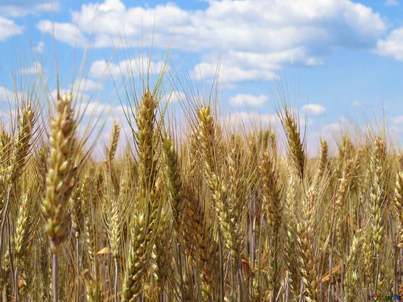 Criadores de aves e suínos do RS querem utilizar trigo na ração