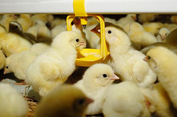 Ácidos orgânicos na dieta de aves como alternativa aos antimicrobianos