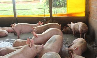 7 Dicas Práticas - Manejo dos suínos na terminação