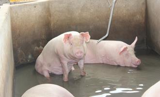 Demanda das agroindústrias sustentam preços do suíno vivo