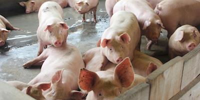 Greve Nacional na Colômbia com risco de desnutrição em fazendas de suínos