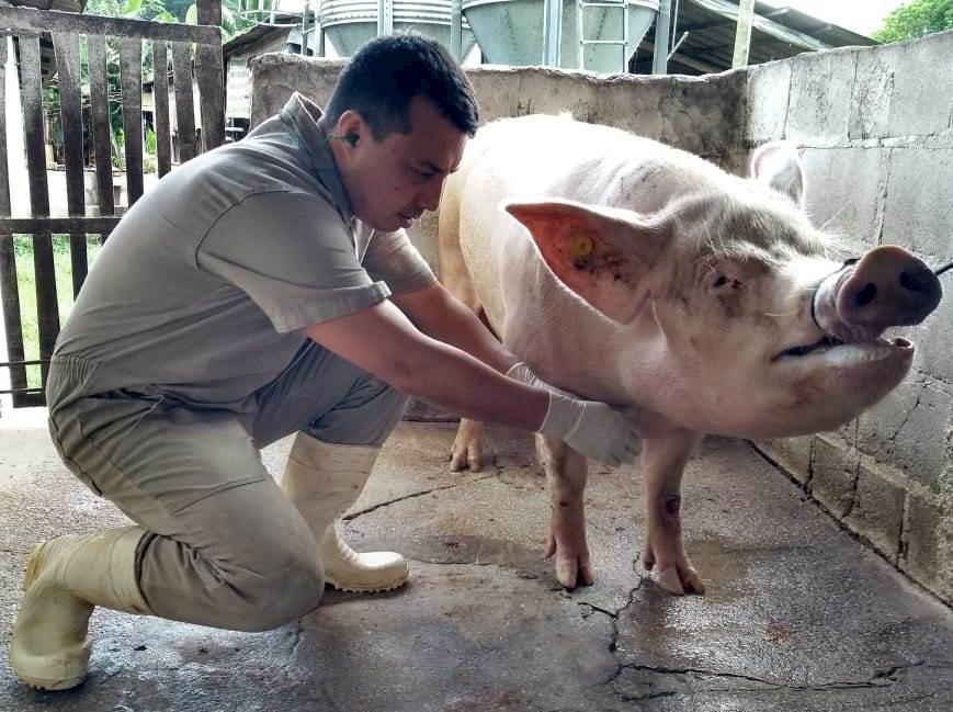 Idaf realiza monitoramento para comprovar ausência da peste suína clássica no ES