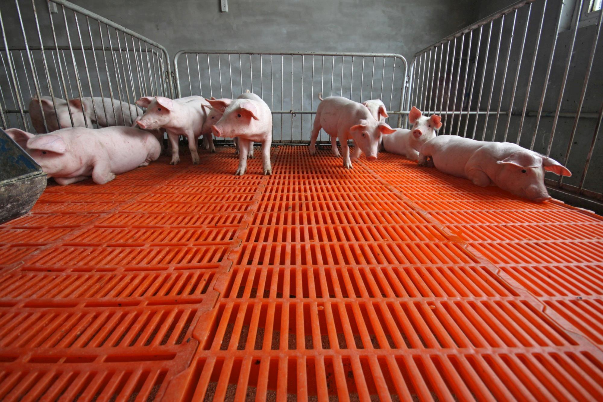 Surto de PSA na China deve ser a chave para o Brasil exportar mais carne suína em 2019