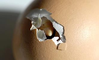 Pode o embrião no ovo sofrer influência do som externo da galinha mãe?