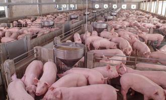 Biosseguridade: o que não pode faltar em uma granja de suínos?