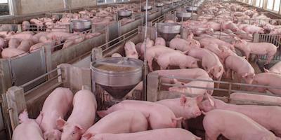Preços do suíno vivo e da carne se enfraquecem, aponta Cepea