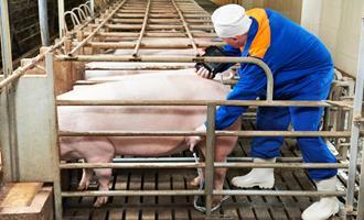 Protocolo de inseminação artificial em suínos e suas diversidades