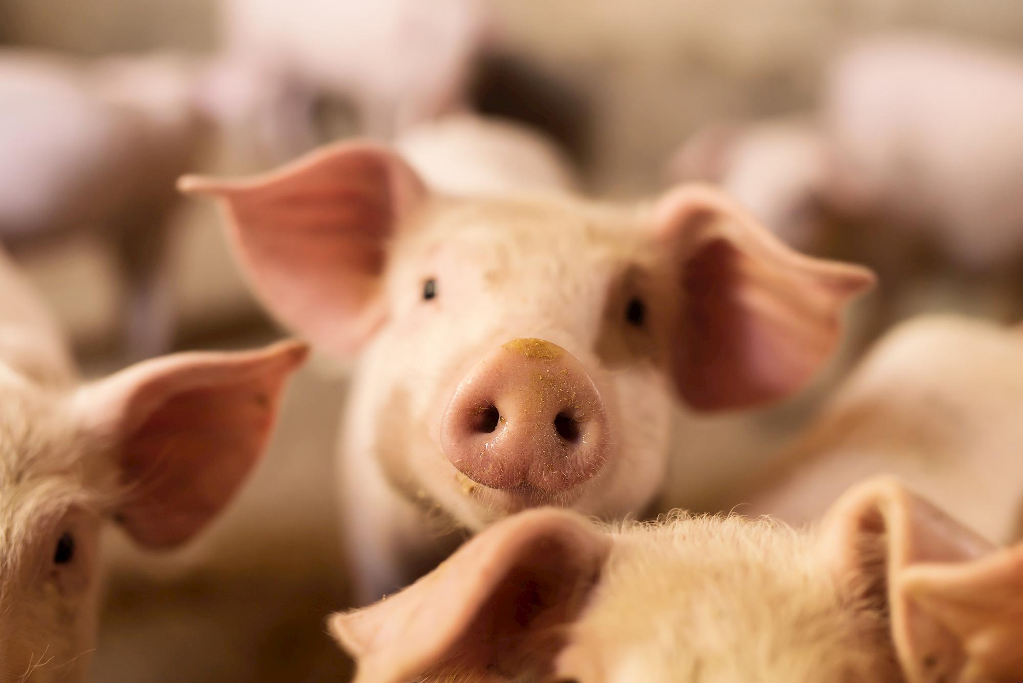 Biosseguridade na indústria suína: investimento com alto retorno financeiro