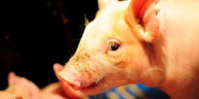 Genus, do Reino Unido, vê desafios ao reabastecer fazendas de suínos na China
