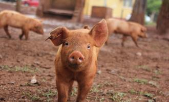 Bem-estar de suínos na indústria brasileira é foco de relatório anual