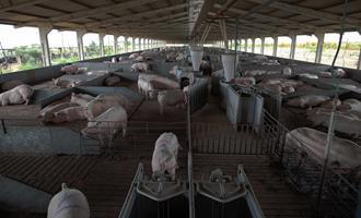 É HOJE: Tudo o que você precisa saber para preparar sua granja para o calor