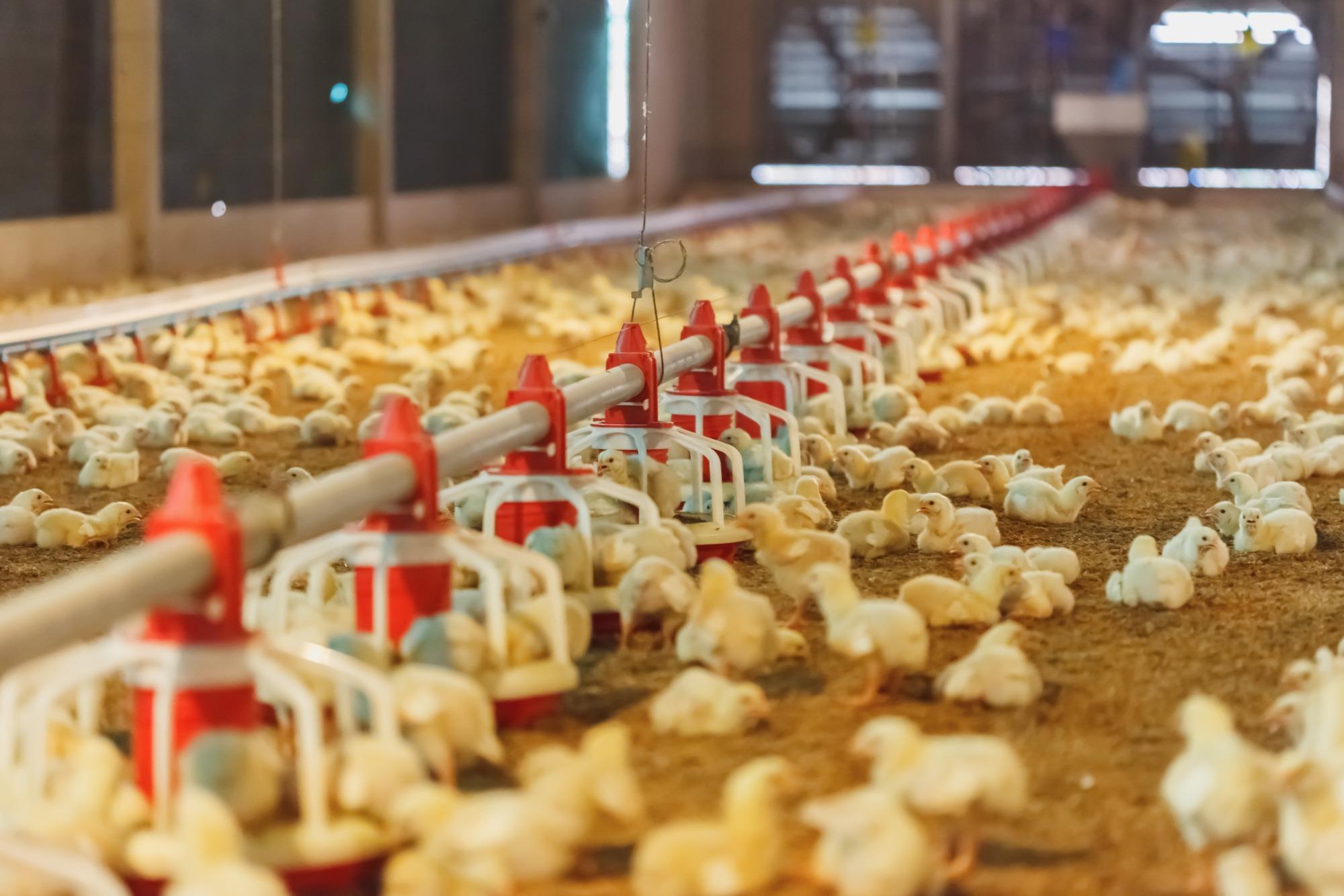 avicultura, fotos atualizadas , Shutterstock