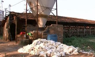 Calor mata milhares de poedeiras e reduz produção de ovos em Bastos