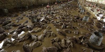 Chuvas matam 16 mil poedeiras em Cochabamba, na Bolívia