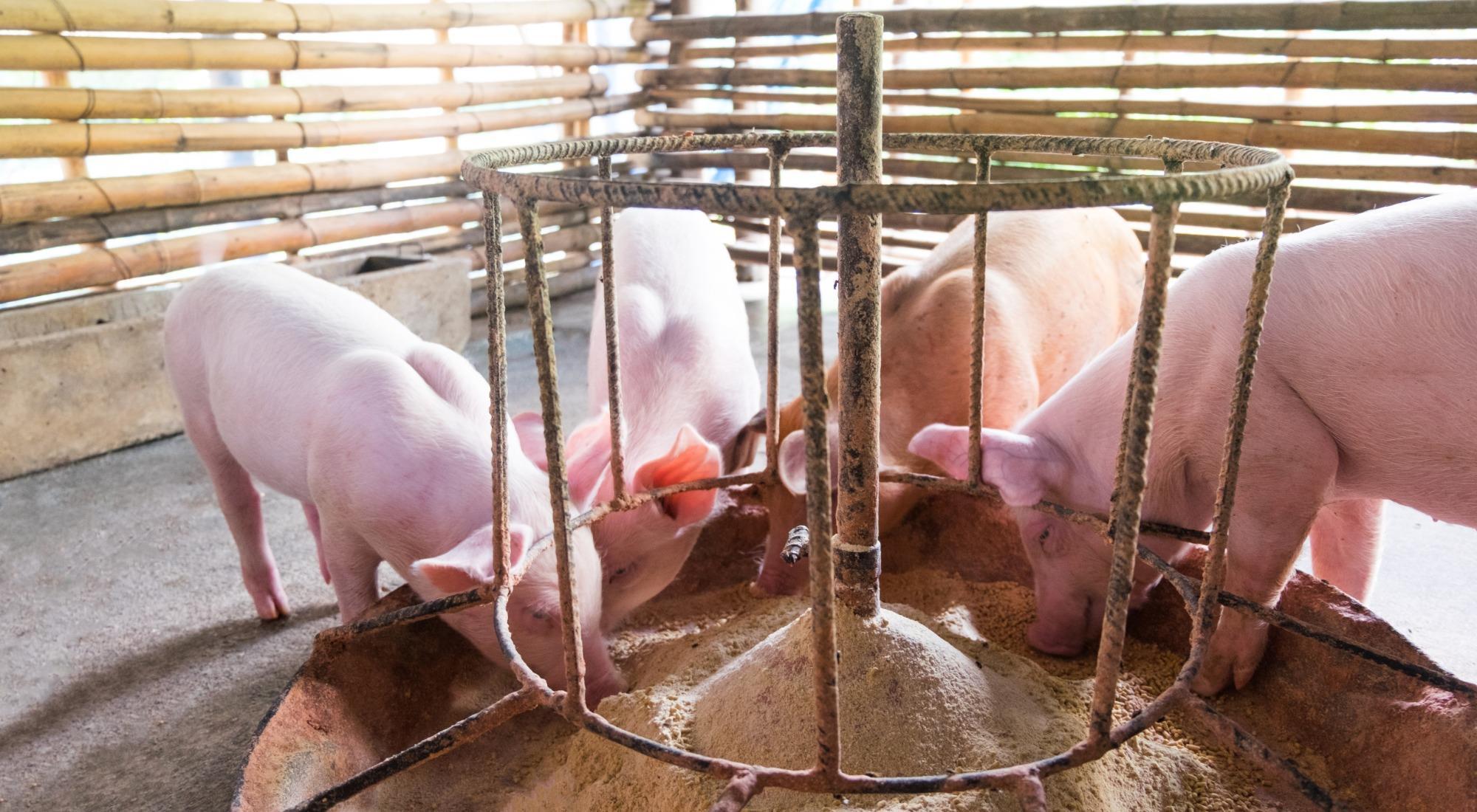 Qual a importância do uso de aromatizante e palatabilizante para rações de suínos?