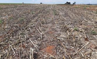 A importância da cultura do milho para o manejo de plantas daninhas resistentes a herbicidas