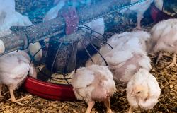O Papel da Inteligência Artificial no Crescimento da Indústria Avícola Brasileira