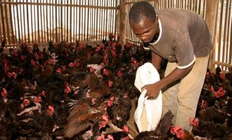 Togo abate aves após o surto de influenza aviária H5N1